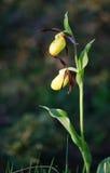 тимберс завода moccasin цветка cypripedium calceolus Стоковое Изображение RF