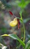 тимберс завода moccasin цветка cypripedium calceolus Стоковое Изображение