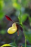 тимберс завода moccasin цветка cypripedium calceolus Стоковая Фотография