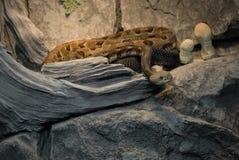 тимберс змейки трещотки Стоковые Фото