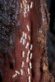 тимберс термитов колонии разрушая Стоковое фото RF