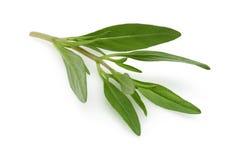 тимиан ветви свежий Стоковые Изображения RF