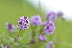 Тимиан - заживление трава Стоковые Фото