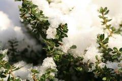 Тимиан зимы стоковые фотографии rf
