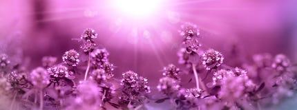 Тимиан - медицинская трава сделанная с фиолетовым фильтром стоковое изображение