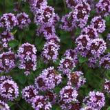 тимиан цветения Стоковое Фото