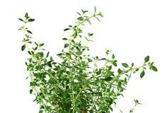 тимиан 2 свежий трав Стоковые Изображения