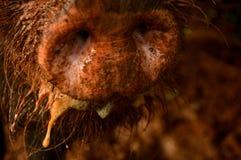 Тинное рыльце Стоковая Фотография RF