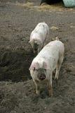 Тинные свиньи в поле стоковое изображение rf