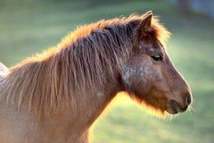 Тинный пони Стоковые Фото