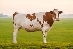 Типичная голландская красная и белая корова молока Стоковая Фотография