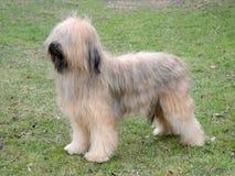 Типичная собака Briard на лужайке зеленой травы Стоковая Фотография RF