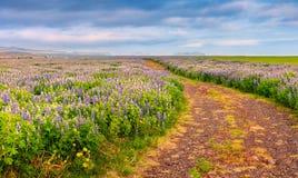 Типичный исландский ландшафт с полем зацветая цветка lupine Стоковые Изображения