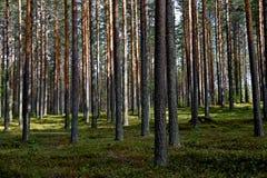 Типичный финский сосновый лес на летний день Стоковые Изображения RF