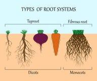 Типы систем корня заводов, monosots и dicots в почве в отрезке, плакате образования, иллюстрации вектора Стоковые Фотографии RF