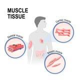 Типы ткани мышцы бесплатная иллюстрация