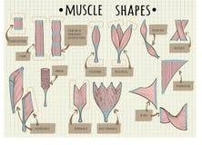 Типы человеческой мышцы Стоковые Фотографии RF