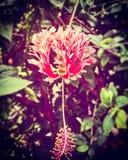 тип sinensis Роза гибискуса стоковое фото rf