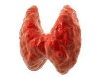 Тироидная железа, иллюстрация иллюстрация штока