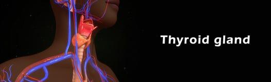 Тироидная железа бесплатная иллюстрация