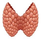 Тироидная железа иллюстрация штока
