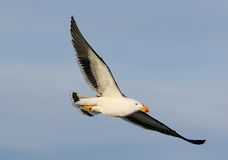 Тихая океан чайка в полете Стоковые Изображения