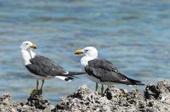Тихая океан чайка, pacificus Larus Стоковые Изображения