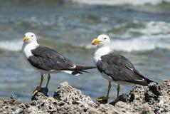 Тихая океан чайка, pacificus Larus Стоковые Изображения RF