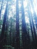 Тихие океан деревья Стоковое Изображение