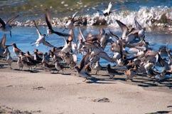 Тихие океан западные sandpipers (Calidris mauri) Стоковые Фото