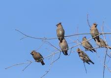 Тихие океан птицы на ветвях группы Стоковые Фотографии RF