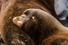 Тихие океан северо-западные морсые львы и уплотнения Стоковая Фотография