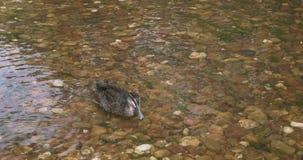 Тихие океан смещения черной утки на кристально ясное мелкое реку акции видеоматериалы