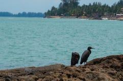 Тихие океан egrets рифа Стоковая Фотография
