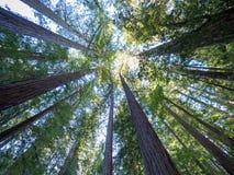 Тихие океан Redwoods в большом тазе, Калифорнии Стоковая Фотография