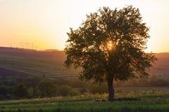 Тихий и мирный взгляд красивого большого зеленого дерева на заходе солнца gr Стоковая Фотография