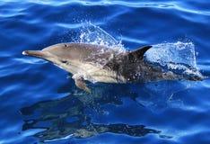 Тихий океан длиной клеванный общий дельфин Стоковое Изображение RF
