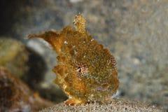 Тихий океан колючий Lumpsucker Стоковое Изображение RF