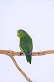 Тихий океан попугай Стоковое фото RF