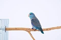 Тихий океан попугай Стоковая Фотография