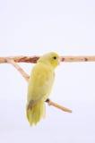Тихий океан попугай Стоковые Фотографии RF