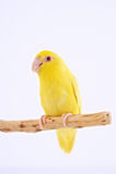 Тихий океан попугай Стоковые Изображения RF