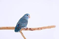 Тихий океан попугай Стоковая Фотография RF
