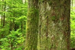 Тихий океан северо-западный лес и серебряные ели стоковая фотография