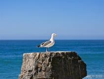 Тихий океан чайки Стоковые Изображения