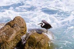 Тихий океан egret рифа, черный Тихий океан egret рифа ища рыбы на Стоковые Фотографии RF