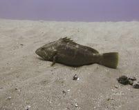 Тихий океан grouper Голиафа Стоковая Фотография RF