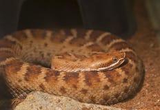 Тихий океан rattlesnake южный Стоковая Фотография RF