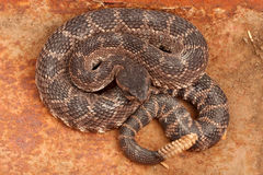 Тихий океан rattlesnake южный Стоковые Фото
