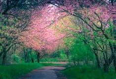 Тихий переулок с величественно blossoming деревьями Сакуры стоковое фото